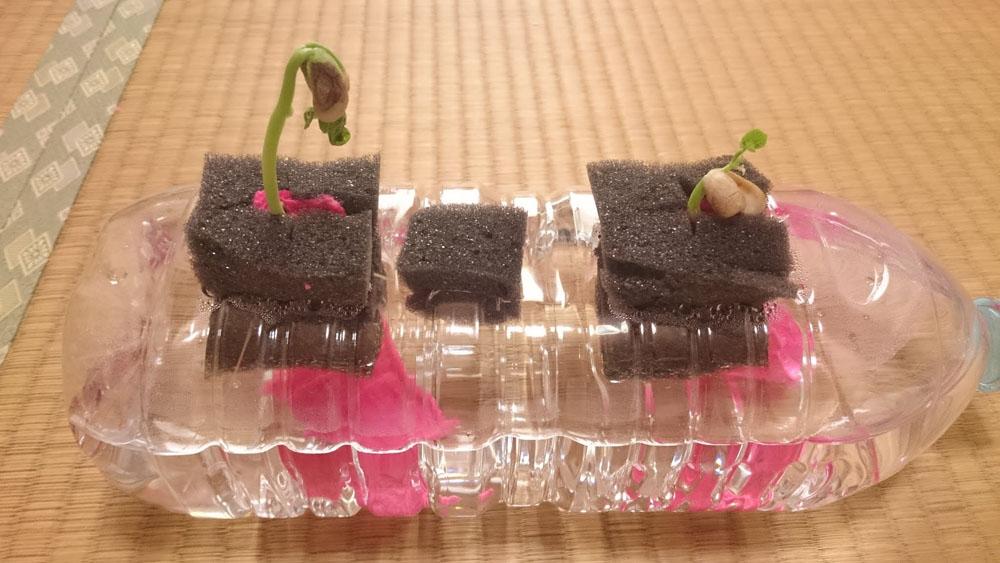 いんげん豆 12日目。上に伸びる伸びる