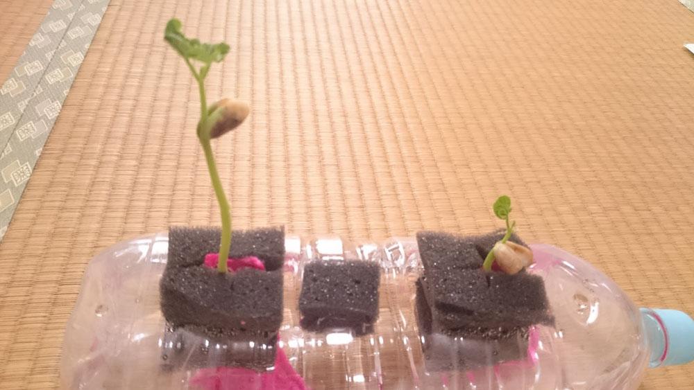 いんげん豆 13日目。成長差がくっきりでました。