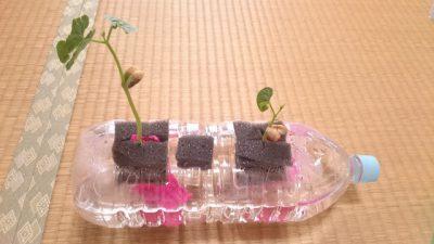 いんげん豆 15日目。本葉がすこーし大きくなったような