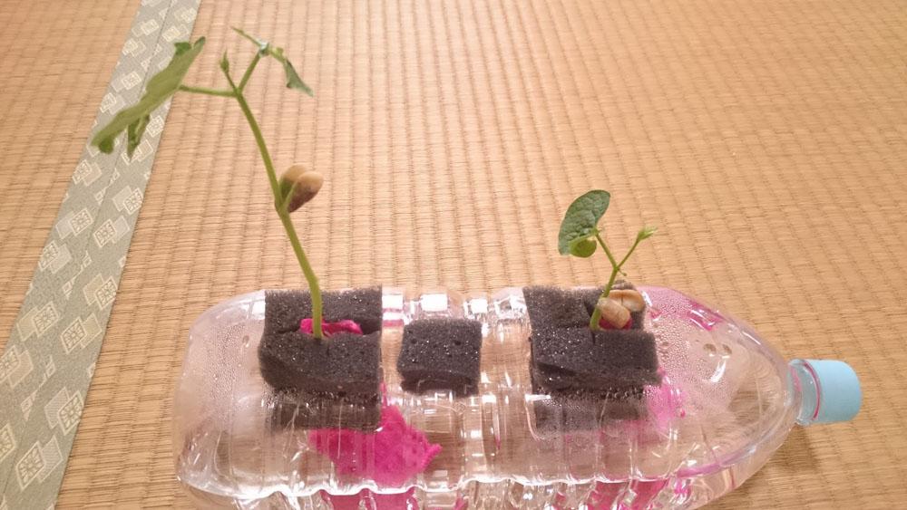 いんげん豆16日目〜19日目。1日ログ取れてませんが育ってます
